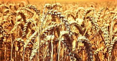 Buğday-tarlası